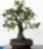 crabapple bonsai tree