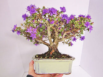 Impeditum Bonsai Tree