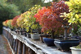 bonsai fall color