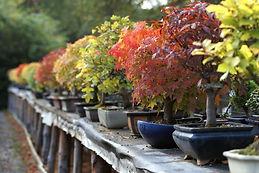 bonsai fall color