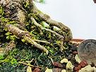 Mugo Pine Bonsai Roots