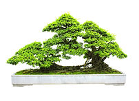 sinous roots bonsai