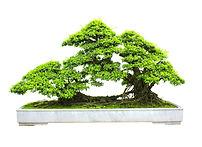 sinous roots bonsai