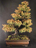 cryptomeria bonsai tree
