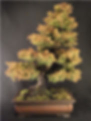 buy bonsai,buy bonsai online,bonsai for sale,online bonsai sales,