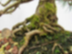 Mugo Pine Nebari
