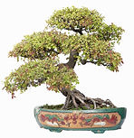 compact bonsai tree