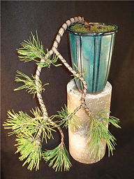 cascade Japanese black pine bonsai tree