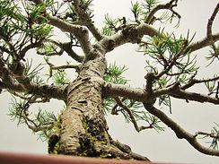 Mugo Pine Bonsai Structure