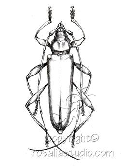 cerumbycid