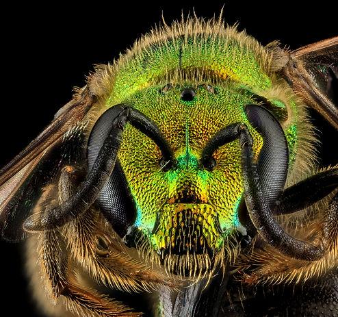 Augochlorella aurata (credit: USGS Bee Inventory and Monitoring Lab)