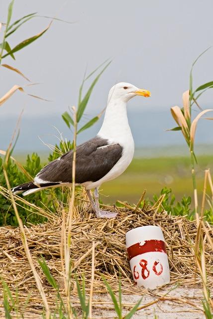Gull-copy