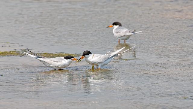 Terns-feeding-copy
