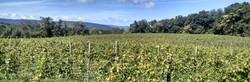 Vineyard Banner pic.jpg