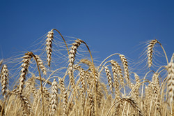 dreamstime_m_19756140 wheat summer.jpg