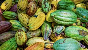 The distinctive colours of Venezuelan Cocoa