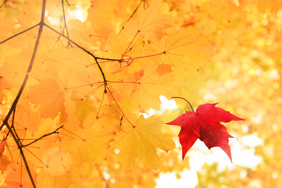 Single bright red dry maple leaf falling down from golden tree viewed upwards. Golden autu