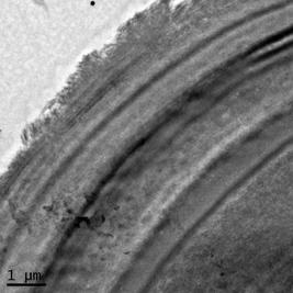 Arbuscular mycorrhizal fungal spore wall