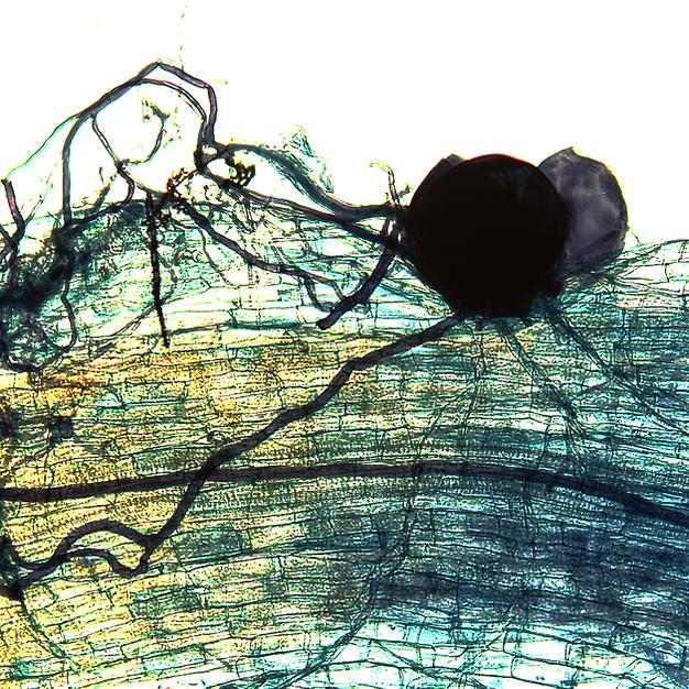 Germinating spores