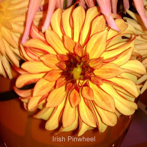 Irish Pinwheel  (ST FL  Y/R) pot root