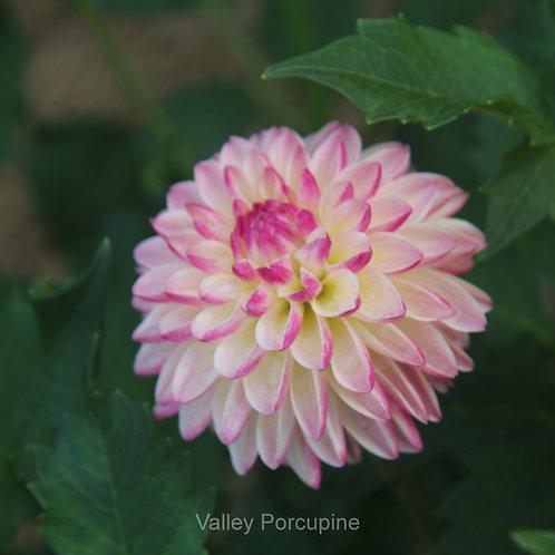 Valley Porcupine    ( NX LB Pk/W )