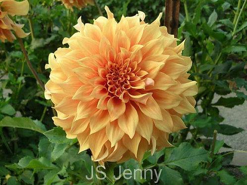 JS Jenny  (A ID Or)