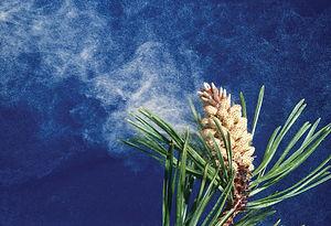 pollen-cone-lodgepole-pine.jpg