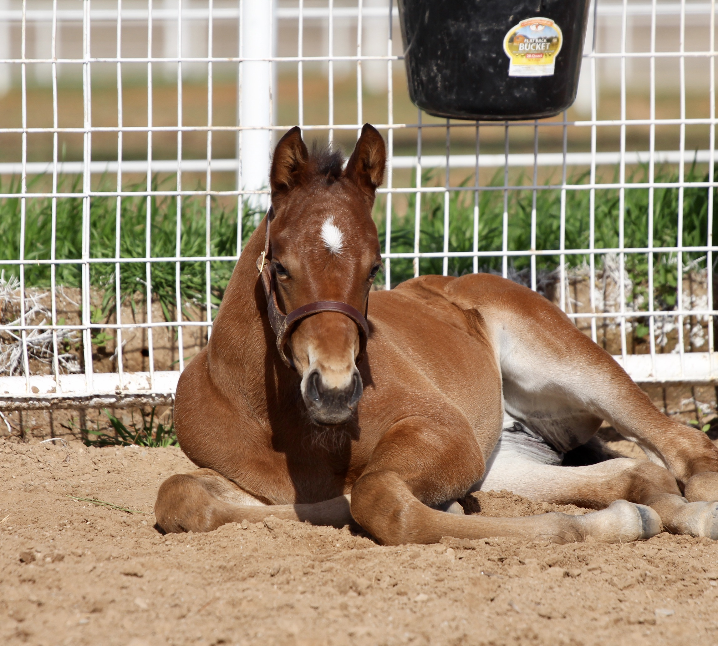 Code West - Southern Equity filly