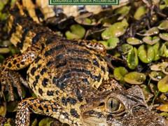 """Projeto Caiman Lança Seu Segundo Livro """"A Jornada Para a Conservação dos Jacarés da Mata Atlântica"""""""