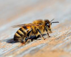 Bee 8x10