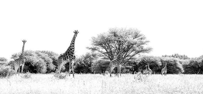 family of giraffe at Luara Wildlife black and white
