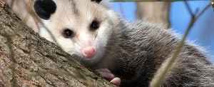 A possum has a tremendous bite, and usually stands its ground rather than fee.