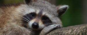 Raccoons cause damage, create latrines, and birth their babies in attics.