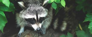 Raccoons will persistently look for ways into your attic, garbage, and garage.