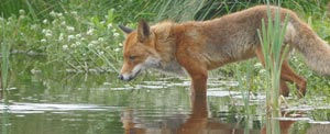 While the fox is beautiful from a distance, they should not be confronted by people or pets.