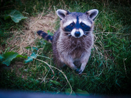 Critter Profile: Northern raccoon | Part 2