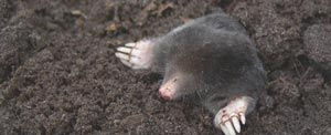 Moles are after your worms, but in the process will cause considerable lawn damage.