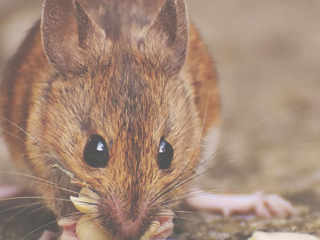 Critter Profile: House Mouse | Part 1