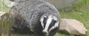 A badger is an uncommon sight in town, but they should never be approached.