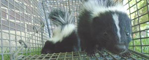 Skunks are the major carrier of the rabies virus. Plus, they kinda stink.