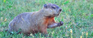 Groundhogs are relentless diggers, and can trash your garden!