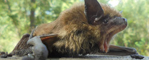 Bats often reside in attics, and may move into your living space.