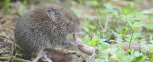 Voles cause both surface lawn damage and underground root damage.