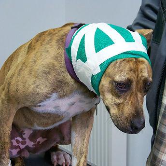 Hund nach erfolgreicher OP