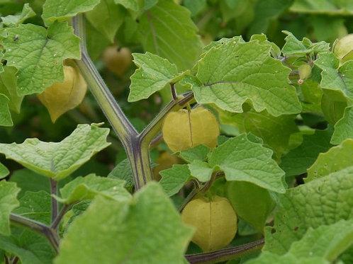 """Physalis pruinosa """"Ground Cherry"""""""