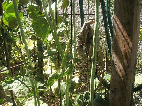 Asparagus Black Stripe Yard Long Bean