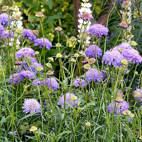 P055. Scabiosa atropurpurea 'Florist's Blue'