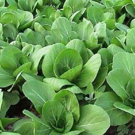 S131X01. Bok Choy Nanjing (Green Stem Chinese Cabbage)