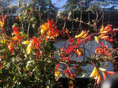 Mina Lobata Firecracker Vine Seeds