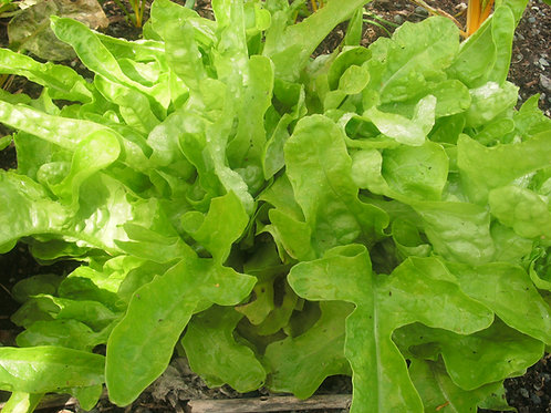 S085X01. Lettuce Green Oakleaf